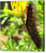 Furry Caterpillar On A Yellow Flower Canvas Print