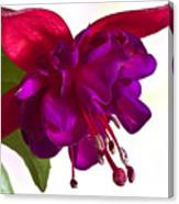 Fuschia Blossom Macro  Canvas Print