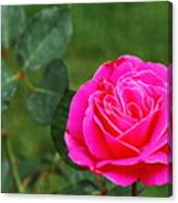 Fuschia Rose Canvas Print