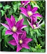 Fushia Clematis Flowers Canvas Print