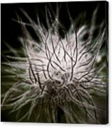 Fuzzy Flower Seedhead Canvas Print