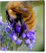 Fuzzy Honey Bee Canvas Print