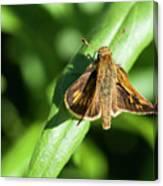 Fuzzy Moth Canvas Print