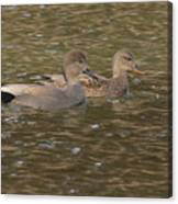 Gadwall Pair Canvas Print