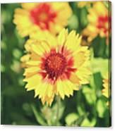 Gaillardia Flowers Canvas Print
