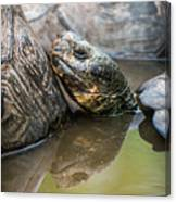 Galapagos Giant Tortoise In Pond Amongst Others Canvas Print