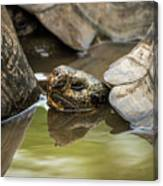 Galapagos Giant Tortoise In Pond Behind Another Canvas Print