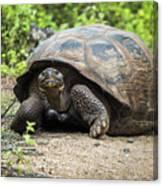 Galapagos Giant Tortoise Walking Down Gravel Path Canvas Print