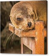 Galapagos Sea Lion Sleeping On Wooden Bench Canvas Print