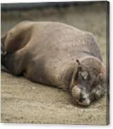 Galapagos Sea Lion Sleeps On Sandy Beach Canvas Print