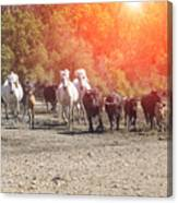 Galloping In Camargue Canvas Print