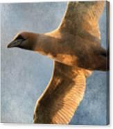 Gannet In Flight 2 Canvas Print