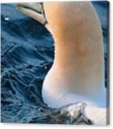 Gannet Swim 3 Canvas Print