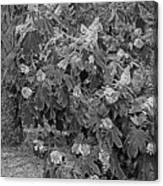 Garden Hydrangeas In Grayscale Canvas Print