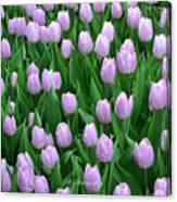 Garden Of Pink Tulips Canvas Print