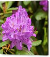 Garden Rhodoendron Plant Canvas Print