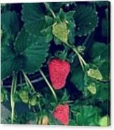 Ripening Garden Strawberries  Canvas Print