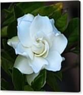 Gardenia 5 Canvas Print