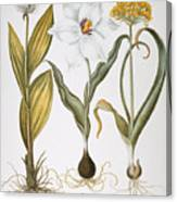 Garlic, 1613 Canvas Print