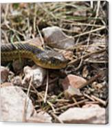 Garter Snake On The Trail In The Pike National Forest Of Colorad Canvas Print