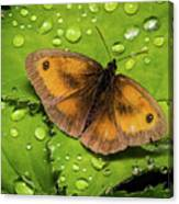 Gatekeeper Butterfly After The Rain. Canvas Print