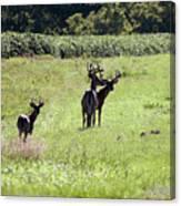 Gathering Of Bucks Canvas Print