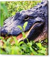 Gator 1 Canvas Print