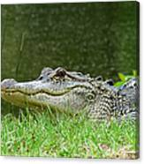 Gator 65 Canvas Print