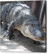 Gator On The Move Canvas Print