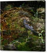 Gator Swamp Canvas Print