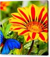 Gazania And Blue Butterfly Canvas Print