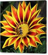 Gazania With Insect Canvas Print