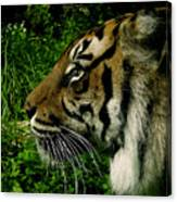 Gaze Of The Tiger Canvas Print