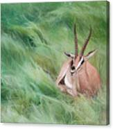 Gazelle In The Grass Canvas Print