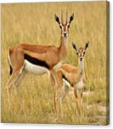 Gazelle Mother And Child Canvas Print