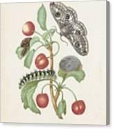 Gedaanteverwisseling Van De Nachtpauwoog  Maria Sibylla Merian  1679 Canvas Print