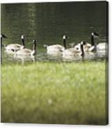 Geese At Spring Meadow Canvas Print