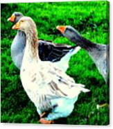 A Couple Of Friendly Geese And One Goose Ready For A Fight  Canvas Print