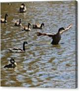 Geese On Lake June 27 2015 Canvas Print