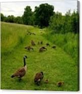 Geese Walk Canvas Print