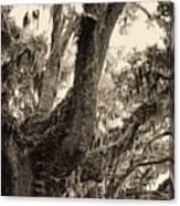 Georgia Live Oaks And Spanish Moss In Sepia Canvas Print