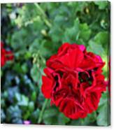 Geranium Flower - Red Canvas Print