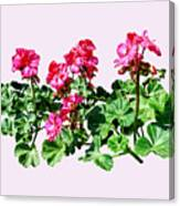 Geraniums In A Row Canvas Print