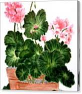 Geraniums In Clay Pots Canvas Print