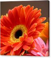 Gerbera Daisies - Luminous Canvas Print