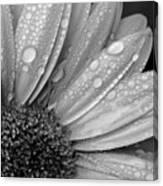 Gerbera Daisy After The Rain 2 Canvas Print