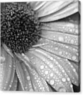 Gerbera Daisy After The Rain 3 Canvas Print