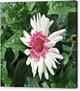 Gerbera Daisy And Bud Canvas Print