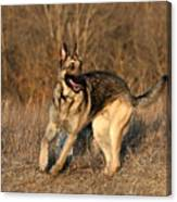 German Shepherd 1 Canvas Print
