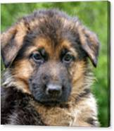 German Shepherd Puppy Canvas Print